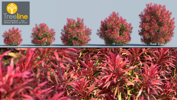 Callistemon 'Great Balls of Fire' - Salignus x Unknown