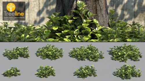 3DMK_Treeline_Peperomia obtusifolia-Royal Gold-MPR