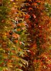 3dmk_Treeline_Quercus_palustris-Green Pillar_EPR3