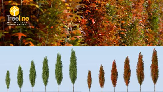 Quercus palustris - 'Pringreen' - 'Green Pillar®'