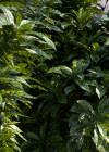 3dmk_Treeline_Codiaeum_variegatum_Aucubifolium_EPR1