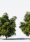 3dmk_Treeline_Codiaeum_variegatum_Aucubifolium_EPR2