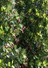 3dmk_Treeline_Syzygium-australe-Pinnacle_EPR1