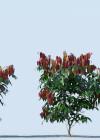 3dmk_Treeline_Syzygium-wilsonii-EPR2