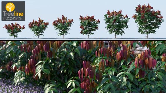 Syzygium wilsonii - Powderpuff Lillypilly