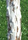 3DMK-Treeline_Caesalpinia_ferrea-Leopard_Tree_EPR3