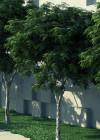 3DMK-Treeline_Caesalpinia_ferrea-Leopard_Tree_EPR4