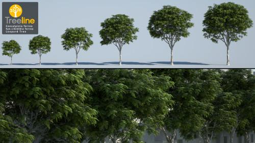 3DMK-Treeline_Caesalpinia_ferrea-Leopard_Tree_MPR
