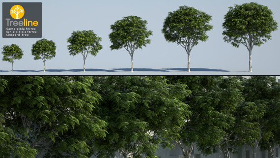 Caesalpinia ferrea syn. Libidibia ferrea - Leopard Tree